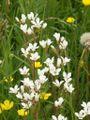 Saxifraga granulata 140505.jpg