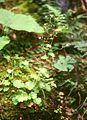 Saxifraga rotundifolia.jpg