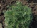 Scabiosa ochroleuca kz04.jpg
