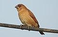 Scaly-breasted Munia Lonchura punctulata Juvenile by Dr. Raju Kasambe DSCN0753 (1).jpg