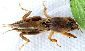 Mole cricket - Image: Scapteriscus vicinus