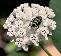 Scarab beetle on Redring Milkweed.jpg