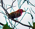 Scarlet-hooded Barbet - Manu NP 9370 (16221000918), crop.jpg