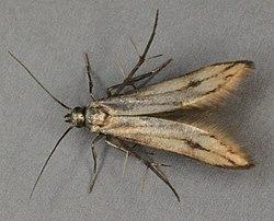 Schreckensteinia festaliella, North Wales, May 2013 (20987282431).jpg