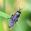 Schwarze Habichtsfliege Dioctria atricapilla male 2740.jpg