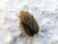 Sciocorissulcatus.png