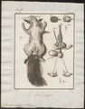 Sciurus vulgaris - geslachtsorganen - 1700-1880 - Print - Iconographia Zoologica - Special Collections University of Amsterdam - UBA01 IZ20400023.tif