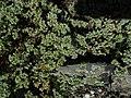Scleranthus perennis inflorescence (31).jpg