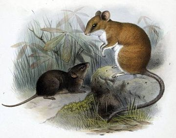 Sumichrast's vesper rat (right) and Alston's brown mouse (left) Scotinomys teguina, Nyctomys sumichrasti.jpg