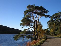 Scots Pine by the A896 by Loch Dughaill in Glen Shieldaig - geograph.org.uk - 72262.jpg