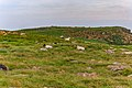 Scottish Blackfaced Sheep St Mary Cape Newfoundland (41364582221).jpg