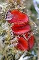 Scutellinia spec. - Lindsey 1.jpg