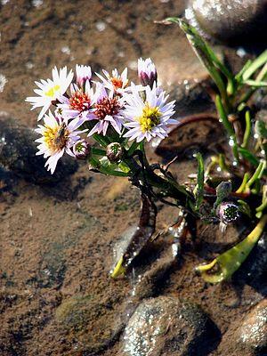 Tripolium pannonicum - Image: Sea Aster