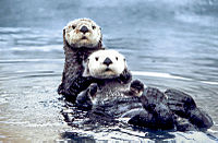 Sea otters in the Olympic Coast National Marine Sanctuary. Note the unusual shape of the hind feet, in which the outer toes are longest.
