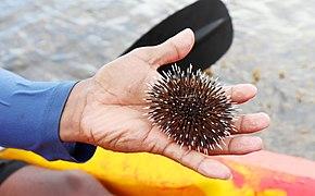Sea urchin at Aguirangan.jpg