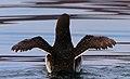 Seevogelschutzgebiet Helgoland Trottellumme im Sonnenuntergang.jpg