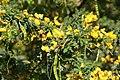 Senna polyphylla 21zz.jpg