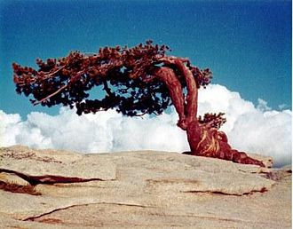 Sentinel Dome - The iconic Jeffrey Pine photographed August 7, 1968. The tree formerly stood atop Sentinel Dome