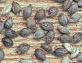 Setaria viridis seeds, Groene naaldaar vruchten.jpg
