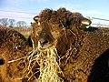 Sheep eating winter fodder north of Gartmorn Dam. - geograph.org.uk - 1558889.jpg
