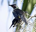 Shining starling cairns09.JPG