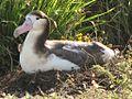 Short-tailed albatross FWS 2.jpg