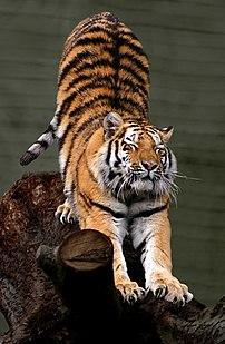 Siberian tiger (Panthera tigris altaica), Aalborg Zoo, Denmark.