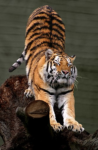 Tiger - The Siberian tiger, the largest tiger in captivity, but not in the wilderness, and the tallest tiger at the shoulder, besides the Bengal tiger