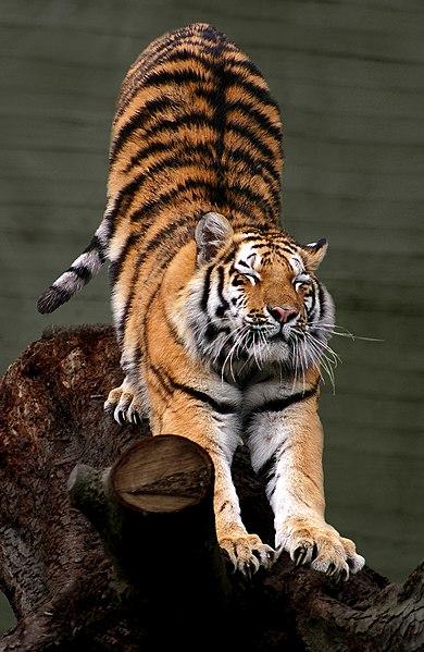 File:Siberian Tiger by Malene Th.jpg