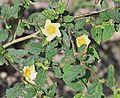 Sida spinosa (29473583876).jpg