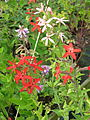 Silene regia - pink and red with Desmodium canadense (14862005486).jpg