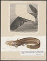 Silurus glanis - 1700-1880 - Print - Iconographia Zoologica - Special Collections University of Amsterdam - UBA01 IZ14600031.tif