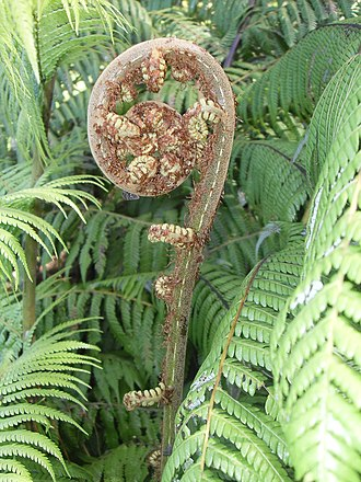 Cyathea dealbata - Koru or unfurling frond of silver fern