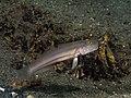 Sixspot goby (Valenciennea sexguttata) (37556117995).jpg