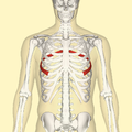 Sixth rib frontal.png