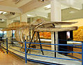 Skeleton of Baby Blue Whale at the Tethys Gallery.jpg