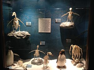 Skeletons: Museum of Osteology - Image: Skeletons Animals Unveiled Penguin Display