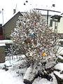 Skořápkovník pod sněhem.jpg