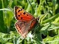 Small Copper (Lycaena phlaeas) (8978905374).jpg