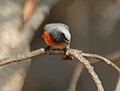 Small Minivet (Pericrocotus cinnamomeus) near Hyderabad W IMG 7669.jpg