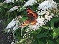 Small Tortoiseshell butterfly at Biddulph Grange - geograph.org.uk - 23322.jpg