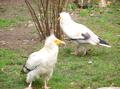 Small Vultutres swedish name Smutsgam.PNG