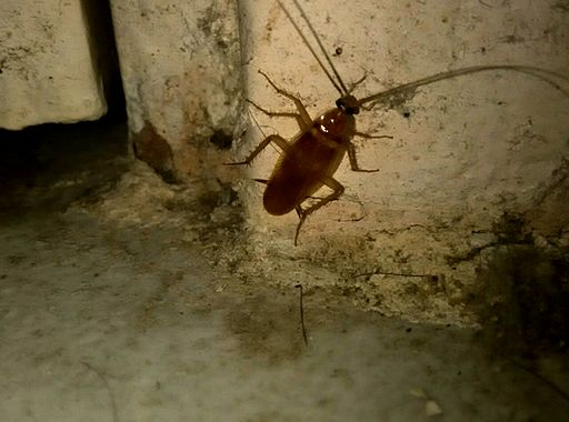 Small cockroach at home