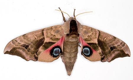 Smerinthus ocellata, Lodz(Poland)01(js).jpg