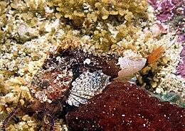 Smoothskin scorpionfish.jpg