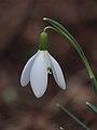 Sneeuwklokje (Galanthus nivalis) 03.JPG