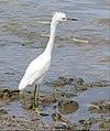 Snowy Egret (Egretta thula) immature (38414944155).jpg