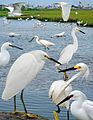 Snowy Egret from The Crossley ID Guide Eastern Birds.jpg
