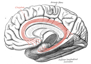 Cingulum (brain) - Medial surface of right cerebral hemisphere. Some of major association tracts are depicted. Cingulum is at center, in red.