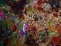 Soft coral at Alphard Banks P4100739.jpg